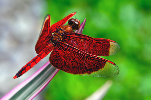 Red Percher / Red Parasol / Neurothemis ramburii