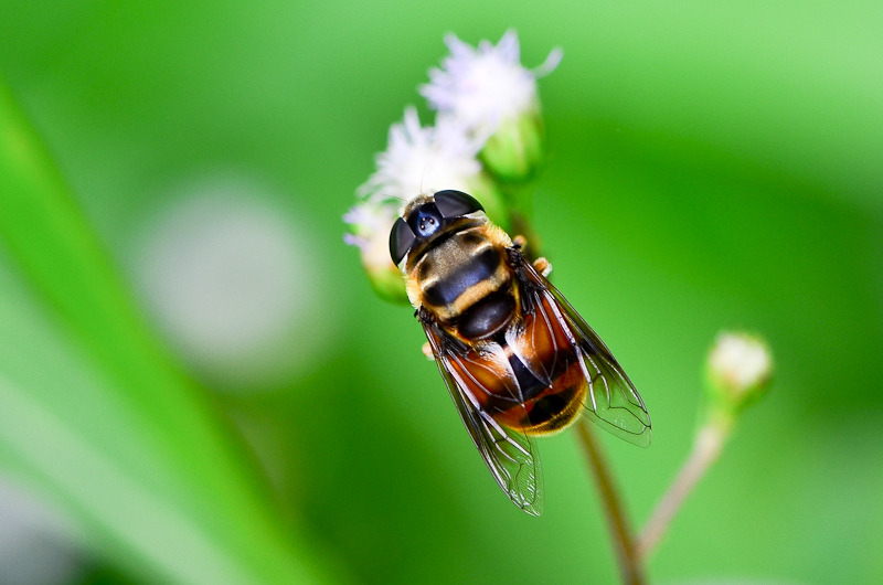 Hoverfly (Syrphidae)