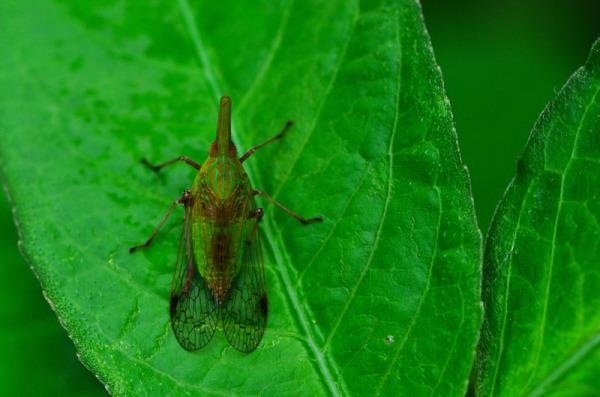 Lanternfly