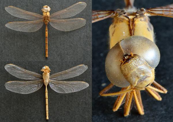 Exoskeleton of dragonfly