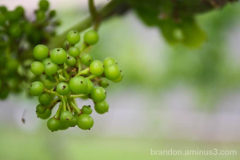 Bundles of Grapes