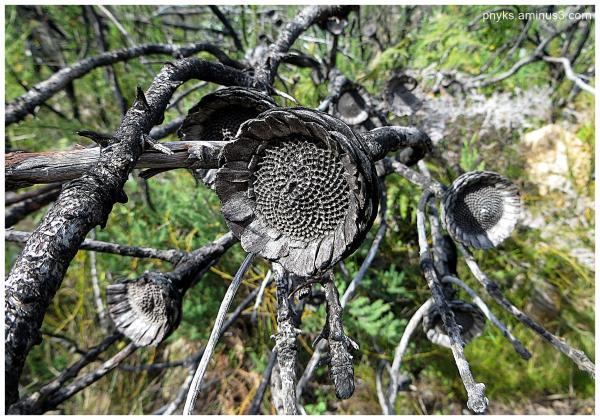 Mama Africa (3): Protea cynaroides