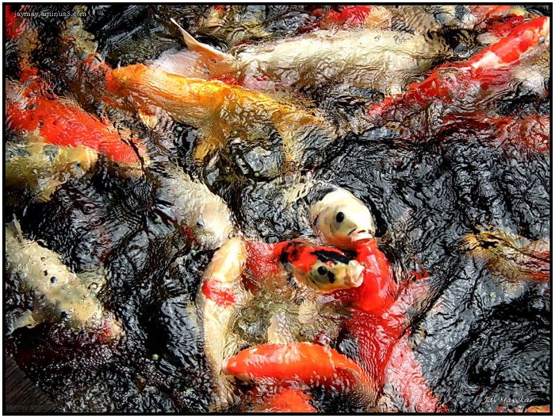 Jay Mayekar Colorful Fish