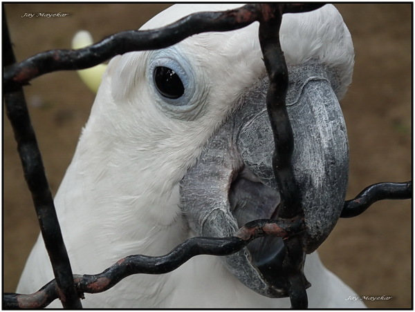 jay Mayekar, White Parrot