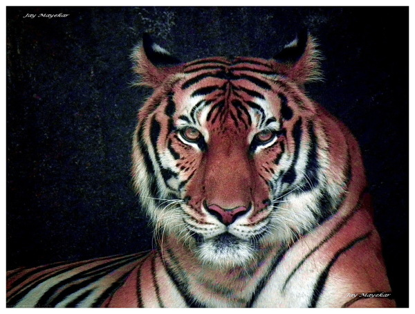 Jay Mayekar, Tiger
