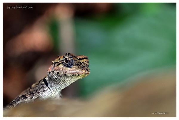 Jay Mayekar, Chameleon,