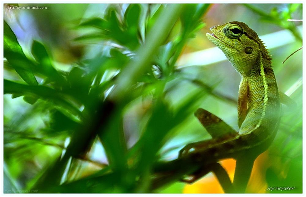 Jay Mayekar, Chameleon