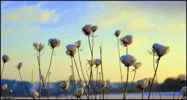 Fleurs de neige.