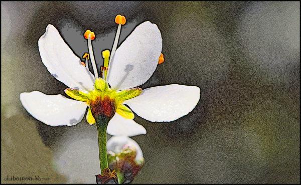 Au soleil du matin , s'ouvre la fleur!!!!