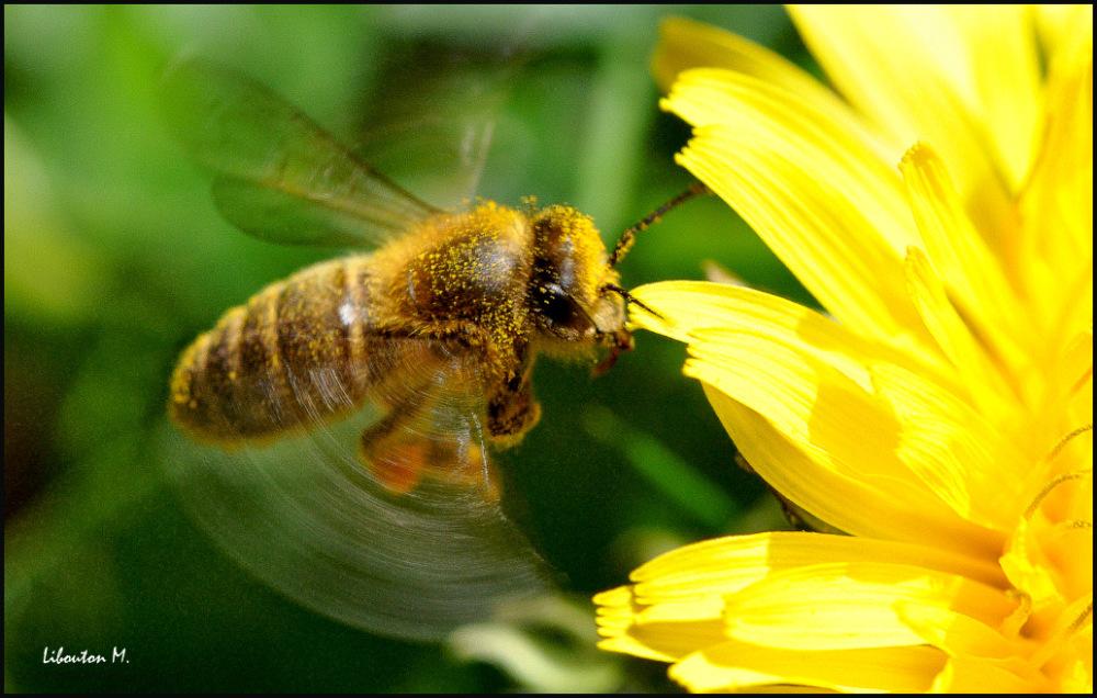 L'abeille colibri.