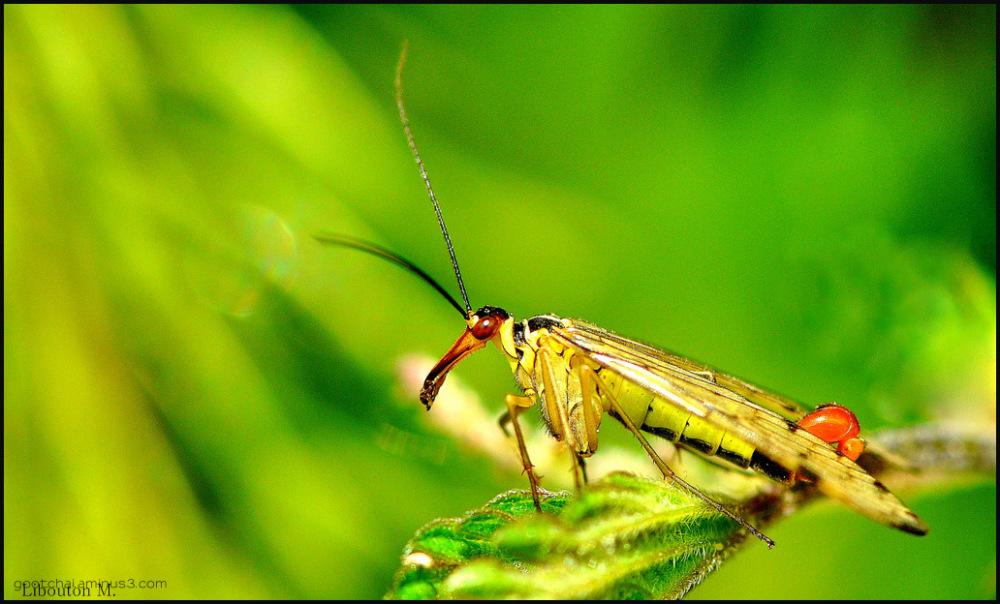 La mouche scorpion mâle.