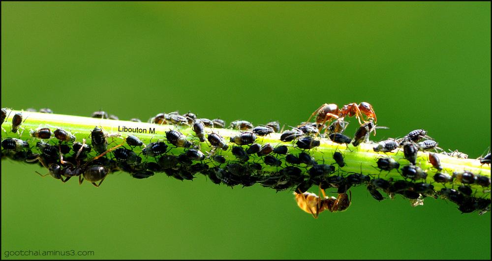 Les fourmis éleveuses de pucerons!!!