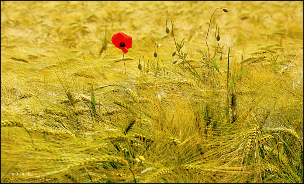 Les blés dorés!