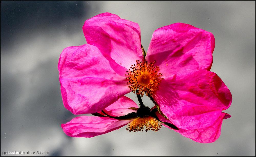 La rose pile ou face!!!!! Miroir 2/2