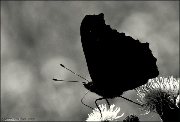 Papillon d'ombre....
