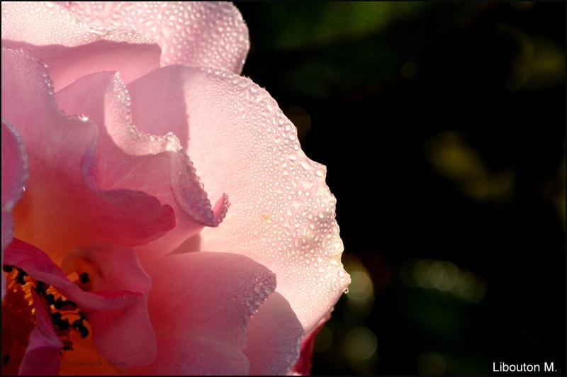 Rose délicatesse.