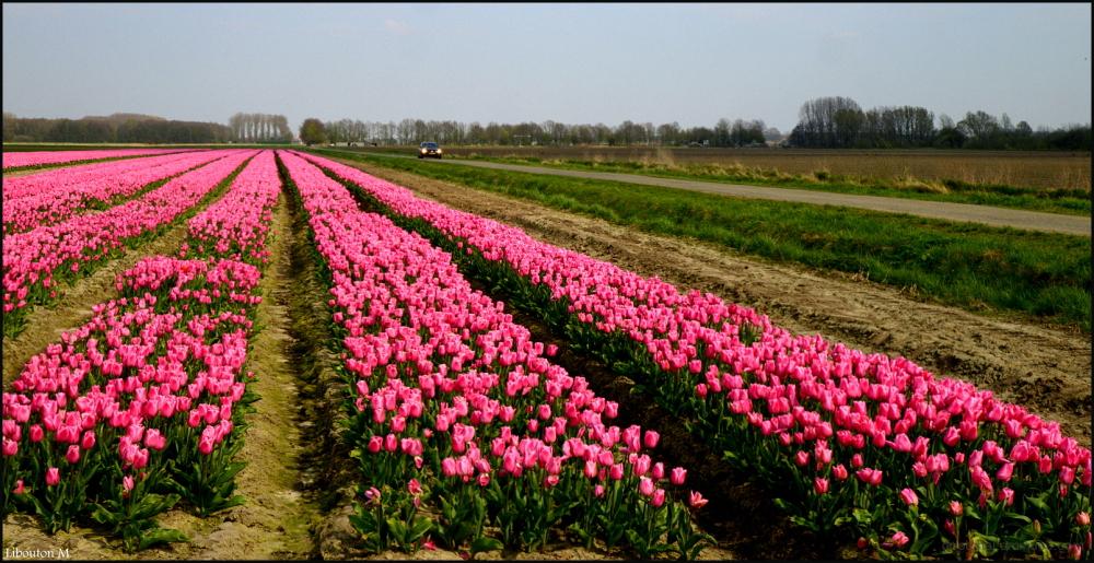 Sur la route ...des tulipes