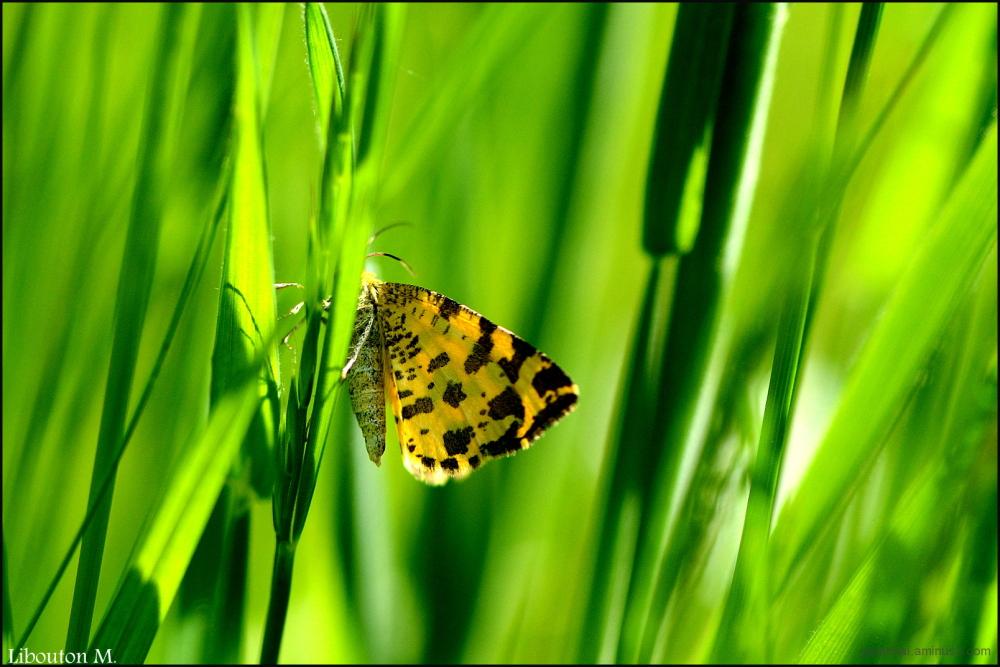 Le papillon qui voulait être un léopard.....