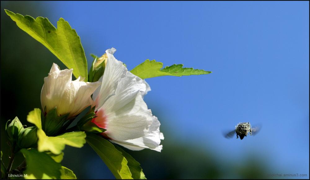 Grisée de pollen
