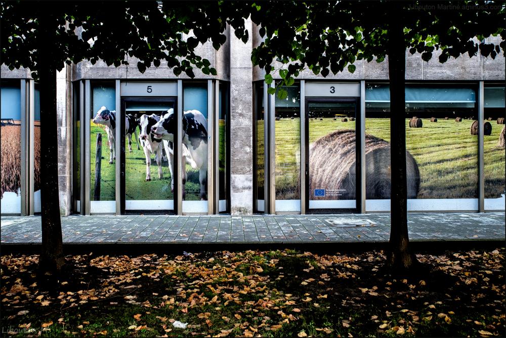 Les vaches dans la ville
