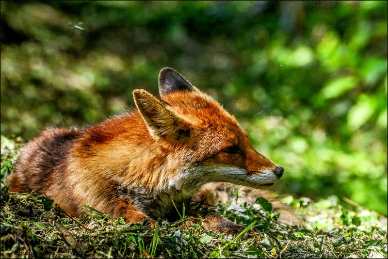 Le renard et la libelulle