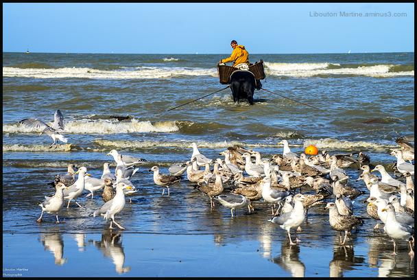 Le pêcheur de crevettes à cheval 6