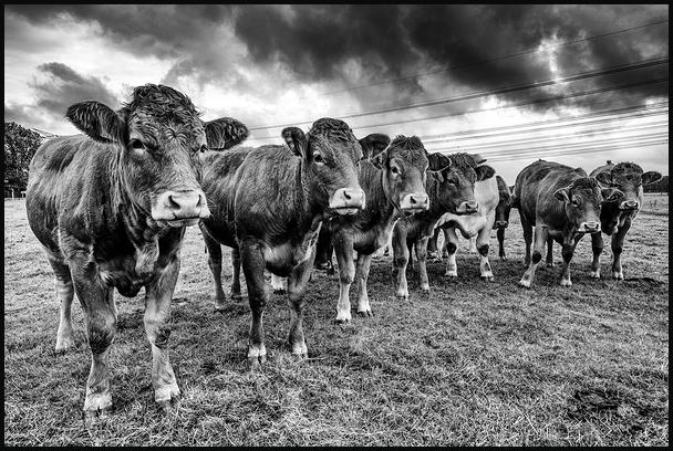 Les vaches de Bénesville sous haute tension !