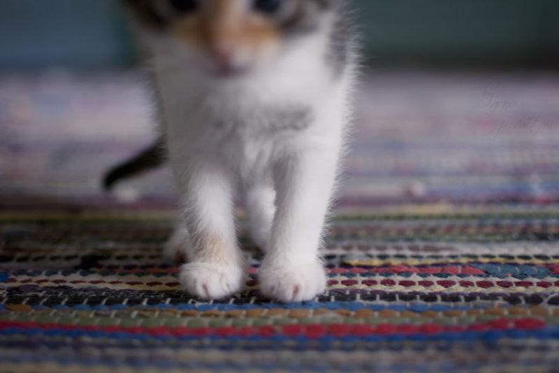 kitten paw