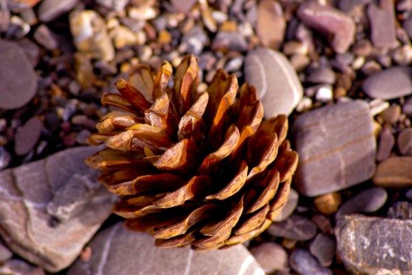 Pine Fruit