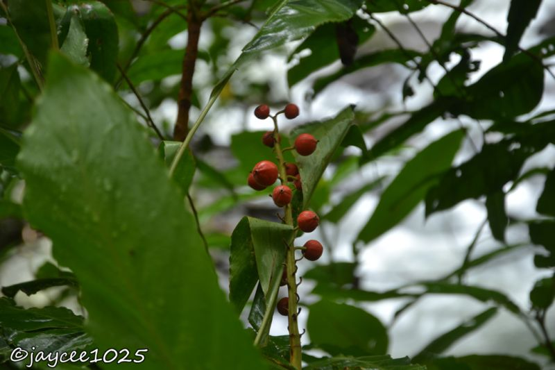 fruits, nature, plant, red