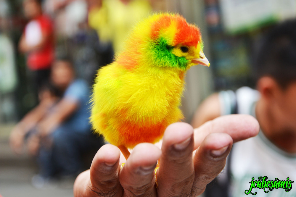 sisiw chick colorful hand hold young