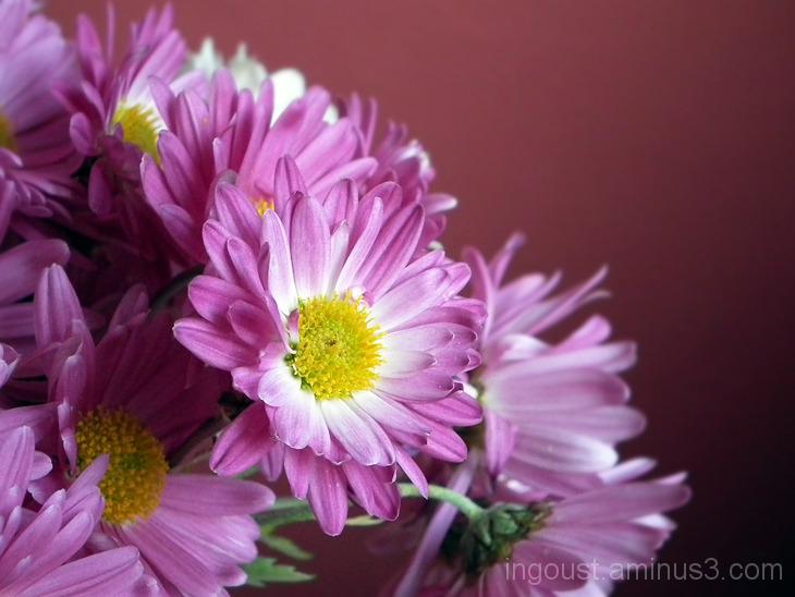 Chrysanthemum 02