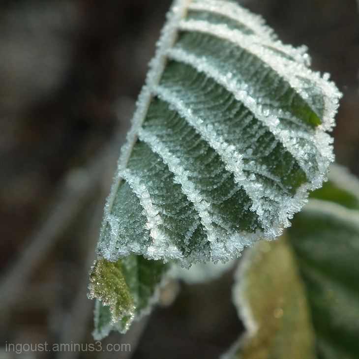 Morning frost II.