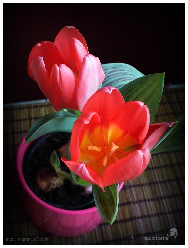 Tulip II.