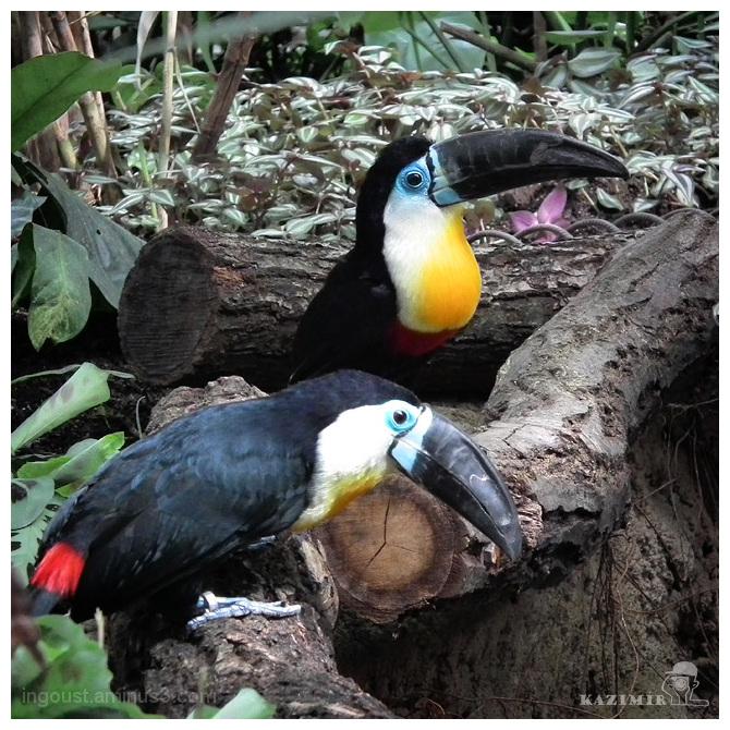 Duo: toucans