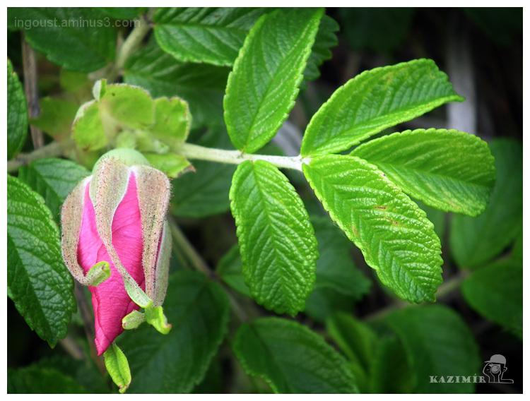 Russia / Wilde rose