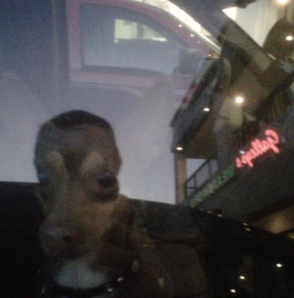 chihuahua in truck
