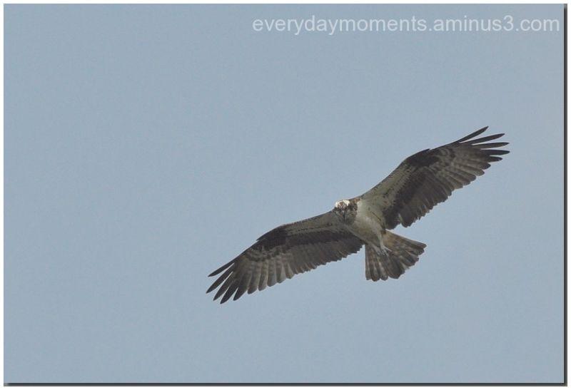 Roofvogel  *   Bird of prey