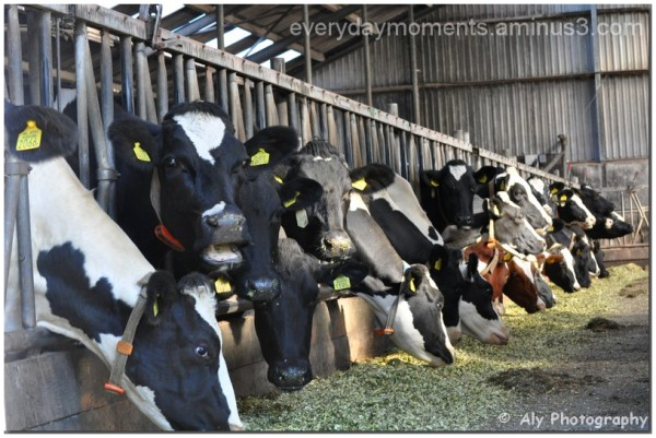 Koeien,stal,Nikon D5000