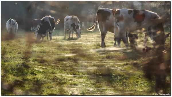 Koeien,Nikon D5000,november zon