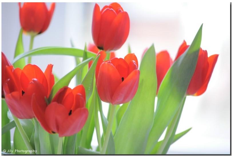tulpen,Nikon.D5000,