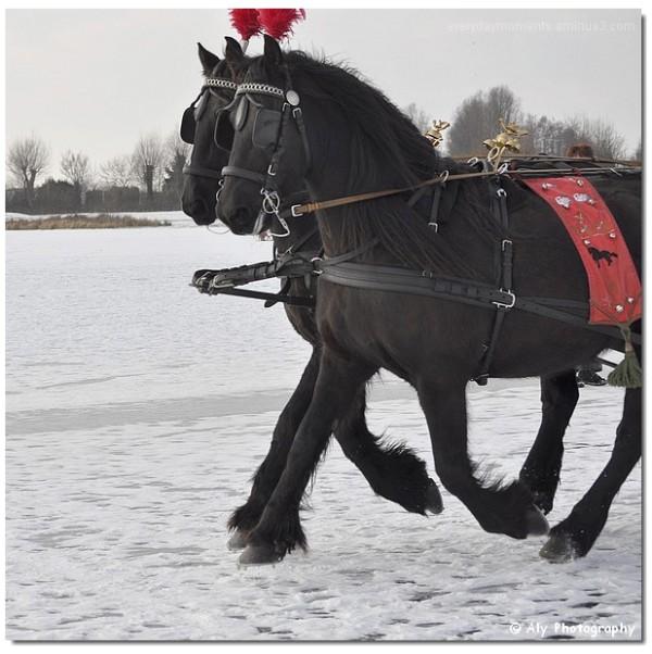 paarden op het ijs