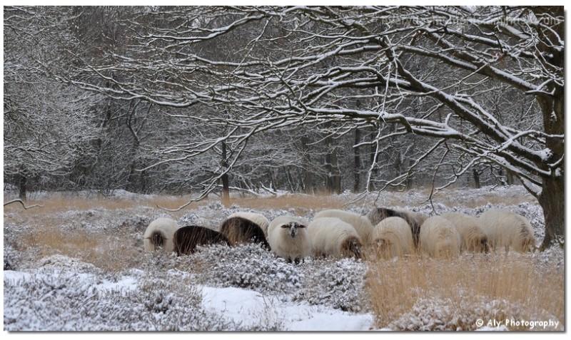Schapen,drente,winter,Nikon D5000