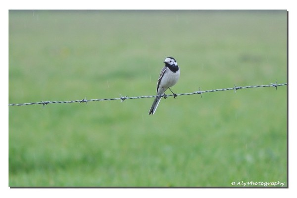 witte kwikstaart,white wagtail,Nikon D5000