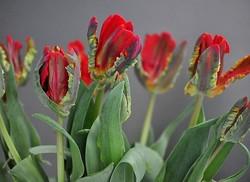 Tulpen,Nikon D5000