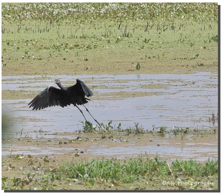 zwarte ibis (Plegadis falcinellus) Nikon D5000 55/
