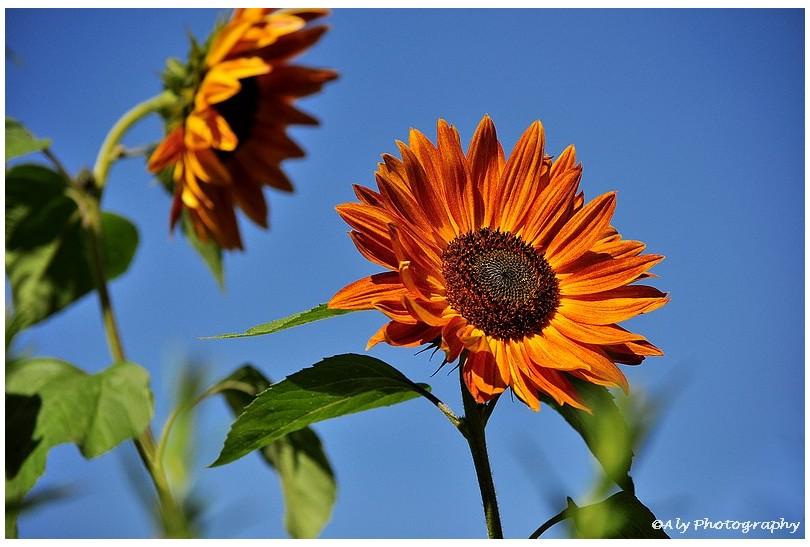 Zonnebloemen,nazomer,Nikon D5000