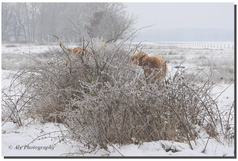 Highlanders between the bushes