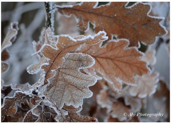 koud.winter,rijp,blad