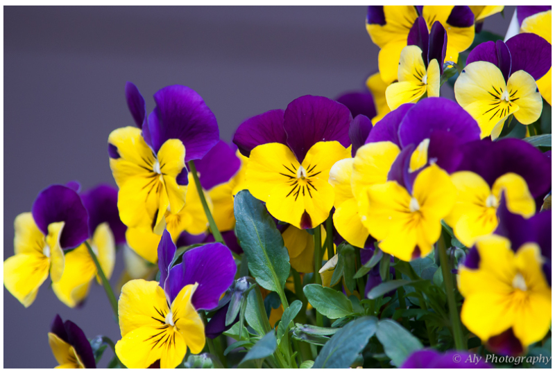 sunny violets